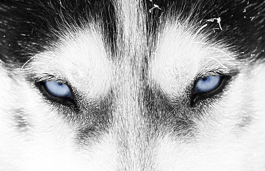 Occhi di lupo