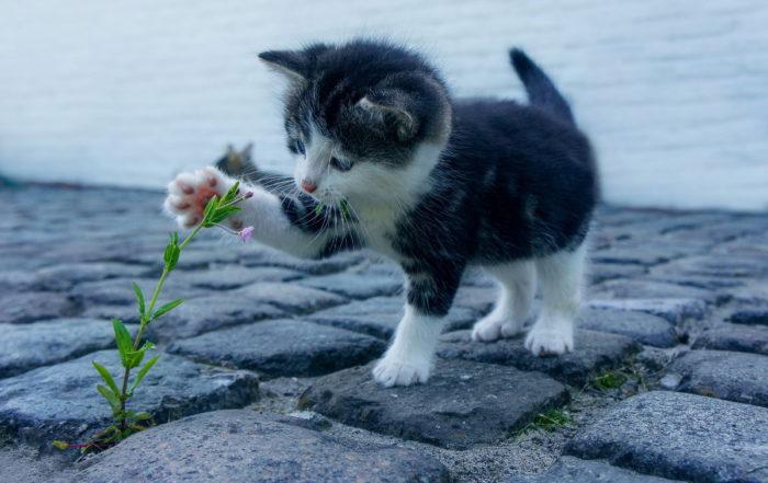 Gatto attratto da un fiore. Il gatto è l'animale che ha la migliore tecnica di motivazione